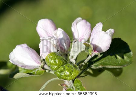 White and pink buds, flowers in an apple tree.