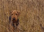 Hunting dog standing in a wheat field with a serious look focused on something in the distance. poster