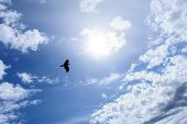 Lonely raven or crow in the blue sky as symbol of freedom poster