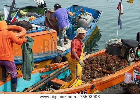 Fishermen Unloading Pyura Chilensis
