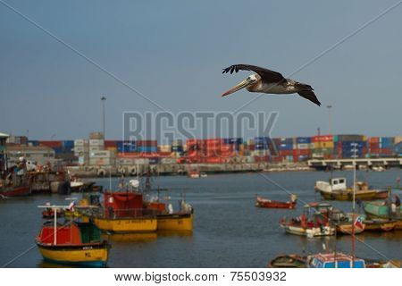 Peruvian Pelican (Pelecanus thagus) flying over the fishing harbour of Arica in Northern Chile poster