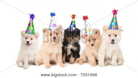 Group of Pomeranian Puppies Celebrating a Birthday on White Background poster