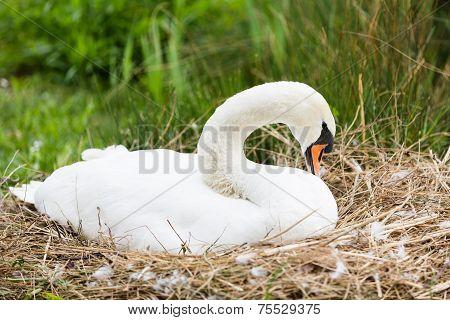 Swan In Lair