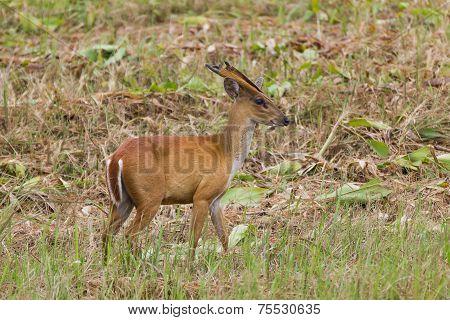 Barking Deer In Nature