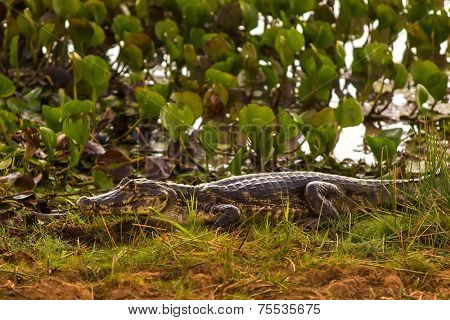 Amazing Wild Crocodile in Pantanal, Brazil. Pantanal is one of the world's largest tropical wetland areas located in Brazil , Latin America.