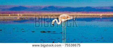 Atacama Salar in Chile with Flamingo