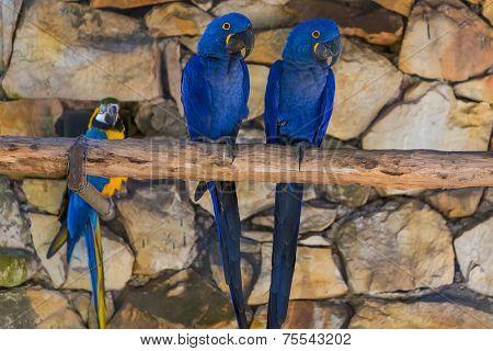 Beautiful Brazilian blue Macaw