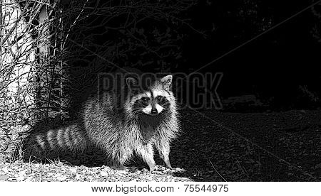 Raccoon Racoon