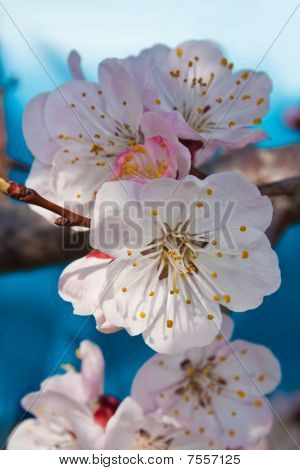 Three flowers of an apricot