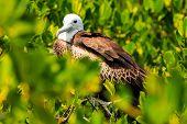 Juvenile Frigate bird on Contoy Island National Park Mexico poster