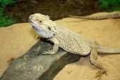 large lizard, large lizard with large thorns, prickly lizard, beautiful and prickly lizard, surprising large lizard, watchful lizard, lizard on a stone poster
