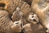 Family of meercats sleeping and resting. poster