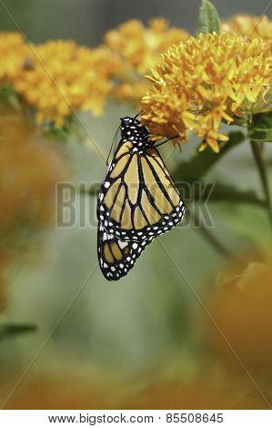 Monarch Butterfly On Butterfly Weed Flower