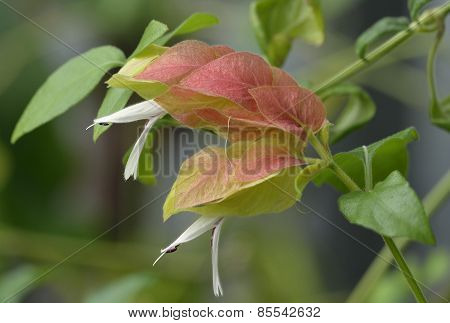 Shrimp Plant Flower