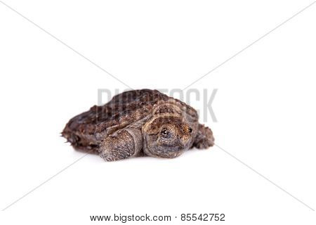 Common Snapping Turtle hatchling on white