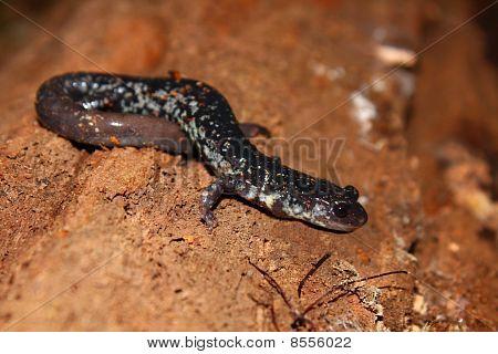 Slimy Salamander (Plethodon glutinosus)