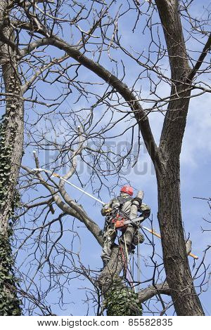 An arborist using a chainsaw to cut a walnut tree , tree pruning