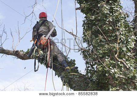 An arborist using a chainsaw to cut a walnut tree , tree pruning