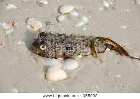 Puffer Fish On Beach