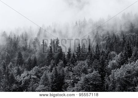 Misty forests of evergreen coniferous trees in an ethereal landscape with low laying mist or cloud clinging to the tops of the trees