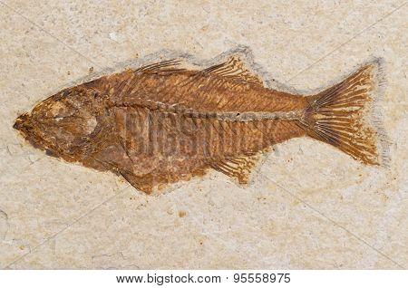 Prehistoric Fish Fossil Sandstone Rock