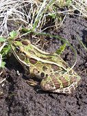this is a close-up of a northern leopard frog. poster