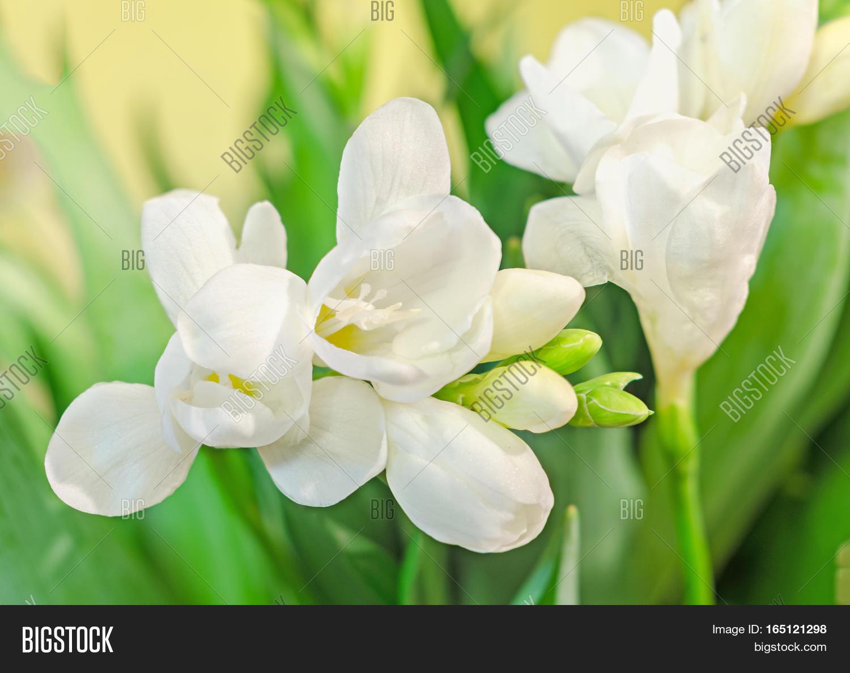 White Freesia Flowers Family Image Photo Bigstock