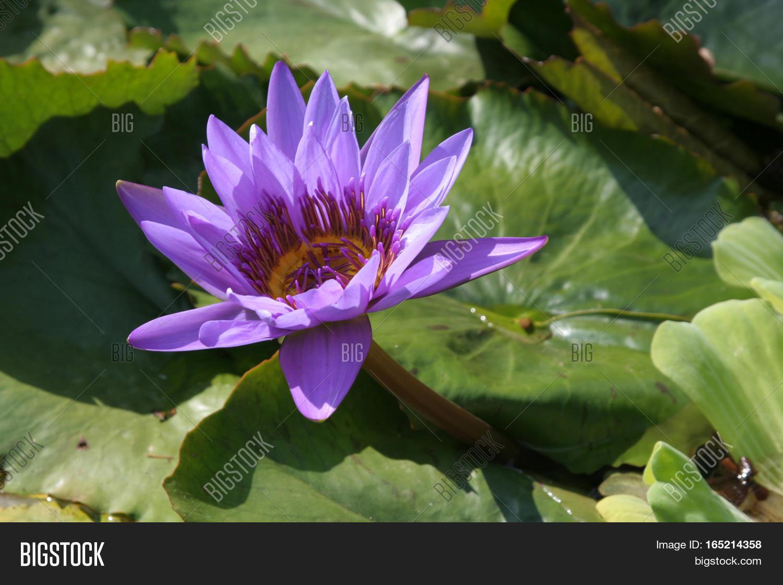 Blue Egyptian Lotus Image Photo Free Trial Bigstock