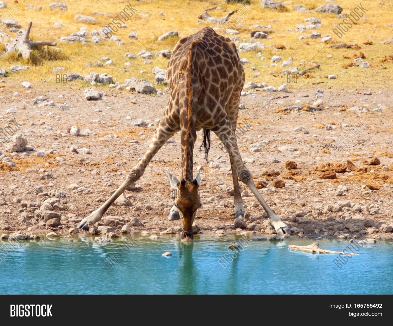 Thirsty Giraffes, Etosha National Park, Namibia  № 1442728 без смс