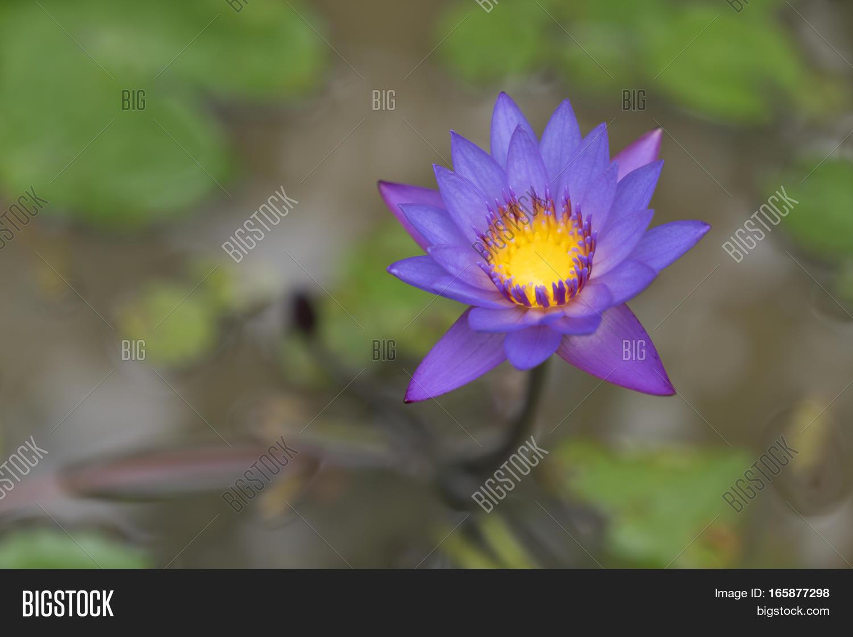 Purple Lotus Flower Image Photo Free Trial Bigstock