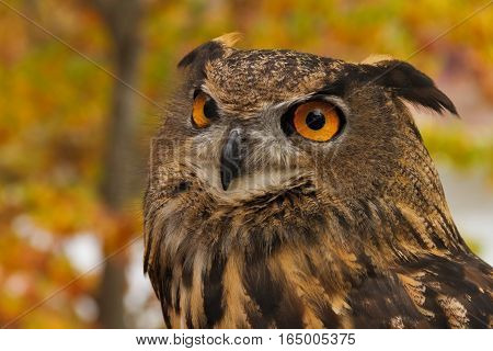 Autumn portrait of a European Eagle Owl. They are also known as Eurasian Eagle Owl or Bubo Bubo