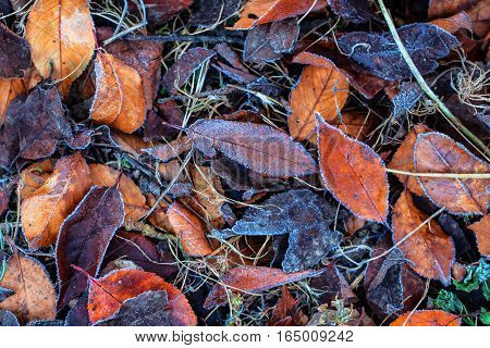 Autumn leaf foliage background covered in ice cold frost