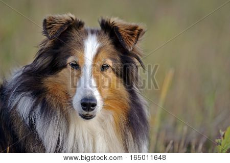 Shetland Sheepdog in meadow portrait head closeup