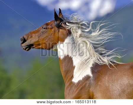 Close up of beautiful Pinto Arab Gelding galloping in meadow