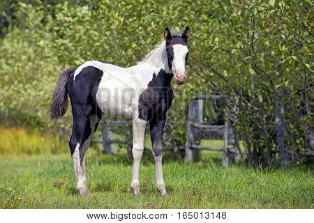 Black and white Paint Colt standing on summer pasture by trees
