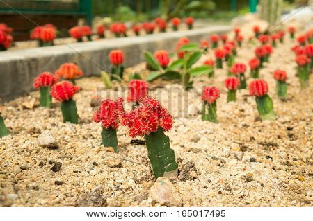 Grafted Red Moon Cacti in Penang's Botanical Garden