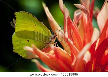 Common brimstone butterfly (Gonepteryx rhamni) feeding nectar