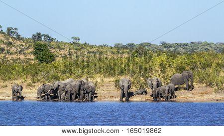 African bush elephant in Kruger national park, South Africa ; Specie Loxodonta africana family of Elephantidae
