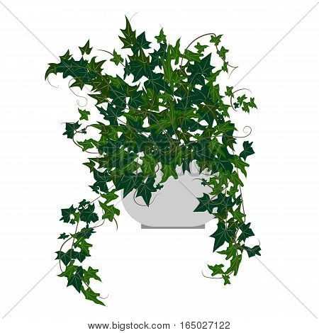 Ivy houseplant. Home flowers made in flat style. Vector illustration.