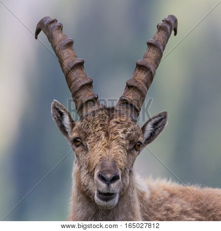 Portrait of a capricorn ibex in natural environment