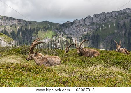 Four natural alpine ibex capricorns sitting in natural environment