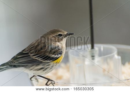 Yellow-rumped warbler eating nuts from bird feeder