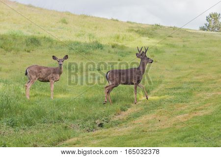 buck and doe black-tailed deer crossing a meadow
