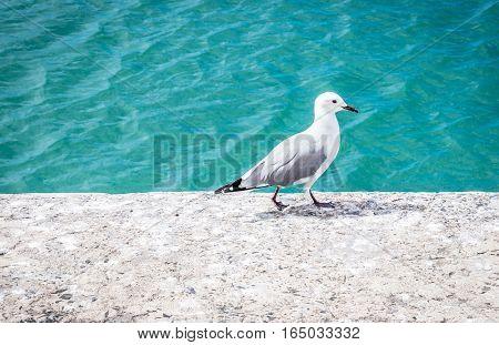 Single seagull walking on edge of harbour dock
