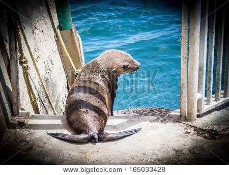 Young brown fur seal at Victoria and Alfred Waterfront enclosure Cape Town