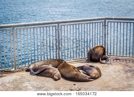 Seals sleeping in the sun in an enclosure at Victoria and Alfred Waterfront in Cape Town South Africa
