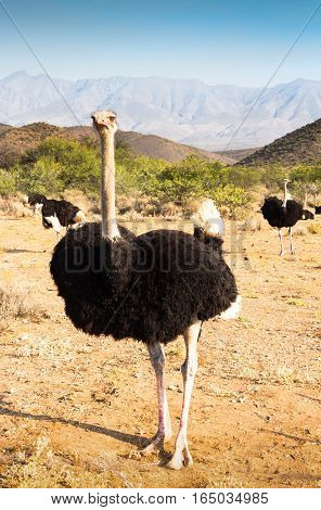 Photo of ostriches near Oudtshoorn South Africa