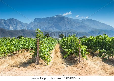 Grape vines on a hot summer day in Western Cape South Africa