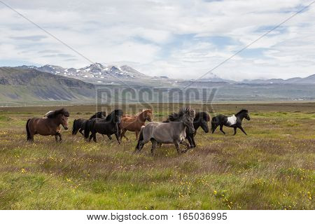 Group Of Beautiful Icelandic Horses Of White, Brown, Gray And Black Colors Running With Their Manes