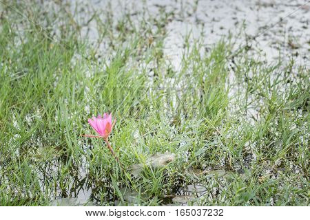 Pink lotus flowers occurring wetlands that occur in the middle of the grass.